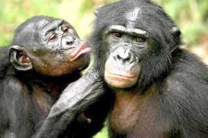 Шимпанзе-в-ухо