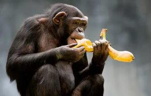 Шимпанзе-ест-банан