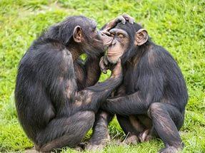 Шимпанзе-пара